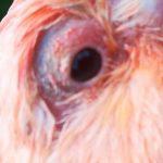 kanarie met een oog ontsteking
