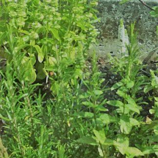 geneeskrachtige kruiden voor vogels
