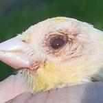 kanarie met een oogirritatie