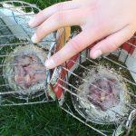 twee nesten met jonge kanaries
