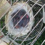 nest met zwart rode kanaries