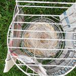 Het nest van mijn agaat kanaries