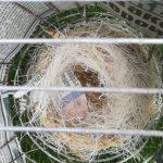 het nest van de zwart-rode kanaries