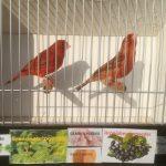 koppel agaat rood kanaries