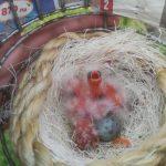 nest rode kanaries 22/04